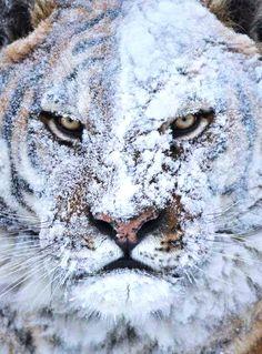 Badass tiger