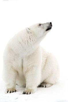 """Polar Bear: """"All In White.""""       (Photo By: Marco Gaiotti.)"""