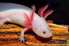 Albinos leucistique, domestique