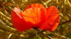 Mák, virág, piros, Vad Virágok