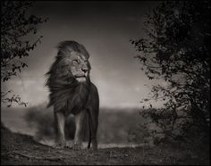 Find the latest shows, biography, and artworks for sale by Nick Brandt. Fusing art and activism, Nick Brandt focuses on the animals that roam Tanzania and Ke… Nick Brandt, Wildlife Photography, Animal Photography, Beautiful Creatures, Animals Beautiful, Grand Chat, Gato Grande, Photo Animaliere, Photo Tips