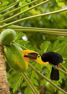 Swainson's toucan eating papaya.