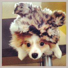 Sebastian the pomeranian dog is too cute in this faux fur hoodie with ears!  Cute puppy!  www.fetchdogfashions.com