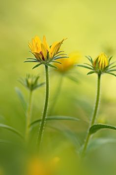 sapphire1707:  Rudbeckia by JeanPhilippeS