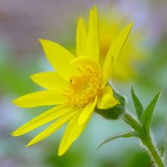 Arnica: excellent homeopathic remedy for acute pain.