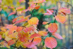 great shrub: fothergilla, a multi-season star-(I love this shrub, gorgeous in my garden right now)