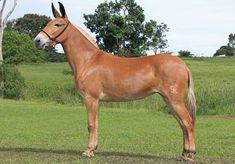 Particularidades dos muares | Escola do Cavalo Breyer Horses, Draft Horses, Beautiful Horses, Animals Beautiful, Farm Animals, Animals And Pets, Mules Animal, Cute Donkey, Horse Pictures
