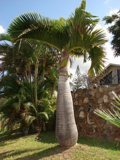 Bottle Palm Tree Care: Learn How To Grow A Bottle Palm Tree