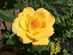 Yellow Rose of Tex...er...ah.... Indiana that's right it's a Yellow Rose in Indiana!