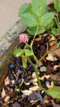 Rosa jardim botão