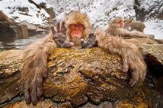 Afbeelding: Japanse makaken (© Eric Cheng/Solent News/Rex Features)