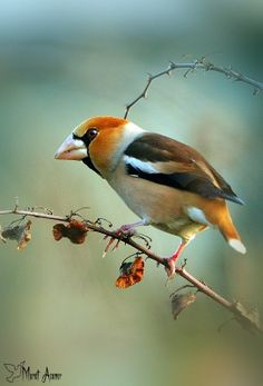 Kocabaş (Coccothraustes), chaffinches (Fringillida) family, forming the large-beaked bird species from the genus Coccothraustes common name. All Birds, Little Birds, Birds Of Prey, Love Birds, Exotic Birds, Colorful Birds, Pretty Birds, Beautiful Birds, Jm Barrie