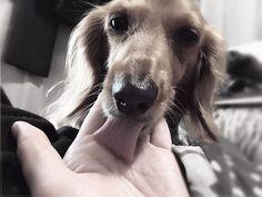 今日はちょっと眠そう舌が長い  #愛犬 #ミニチュア #ミニチュアダックス  #わんこ部 #今日のわんこ #お犬様  #癒しわんこ #わんこ #犬 #癒し #dog #ilovemydog #instagramdogs #dogstagram #lovedogs #love #cutedog #cute #doglover #instadog #mydog #加工写真 #iphone6photo by sgr_9mm Love #iPhone6 Photography follow http://ift.tt/1SfZBFk #iPhone 6 #Photography/ #photographer #photo #photos #picture #pictures #camera #only