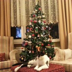 Christmas cat at home :))) #lovely #sweet #christmas tree