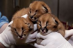 Cute Baby Animals - Baby Caracal Kittens