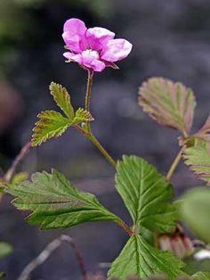 Rubus arcticus in full bloom. Mesimarja kukkii.