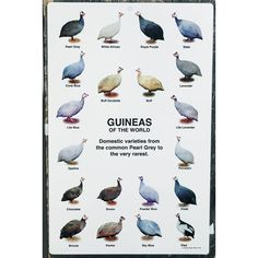 Guineas of the World Poster | | Chicks and Game Birds from Stromberg's |