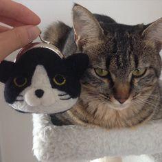 目付き悪い対決。 . テトさん圧勝ですにゃ。 #寝起き#機嫌が悪い#ほんとに怒ってる #キジトラ#ヤマネコ#ふわもこ部 #catstagram#cat#羊毛フェルト#がま口#手作り雑貨#はちわれ