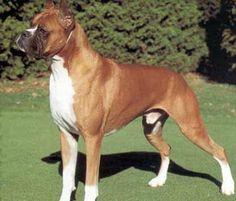 boxer dog photo   All Brown Boxer Dog