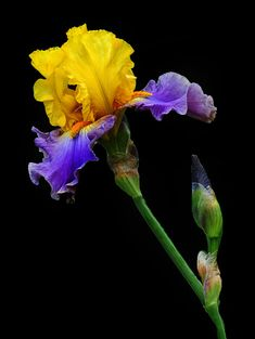 This iris is one of the standouts in the garden. Iris Flowers, Blooming Flowers, Exotic Flowers, Amazing Flowers, Flower Images, Flower Art, Iris Painting, Iris Garden, Bearded Iris