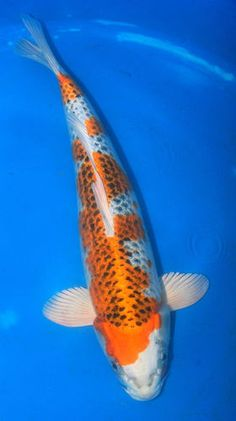 1000 images about koi kujaku examples on pinterest koi for Koi carp farm