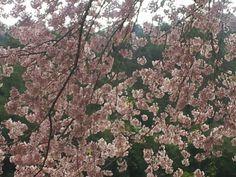 Floração da cerejeira 2012