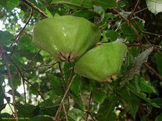 CAMBUCÍ (Campomanesia phea)