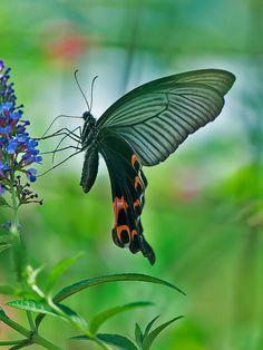 Papilio macilentus