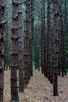 pine trees | Tumblr