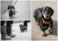 Dachshunds on a walk in Yorkshire! | Dog photography by www.colinmurdochstudio.com #dachshunds #teckel #wirehaired #smooth #miniature