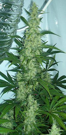Rostlina konopí setého