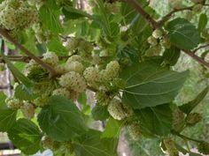 Egy igénytelen fa gyümölcse kezeli a rákot - Egészségtér Edible Wild Plants, Cauliflower, The Cure, Vitamins, Health And Beauty, Healing, Herbs, Vegetables, Food