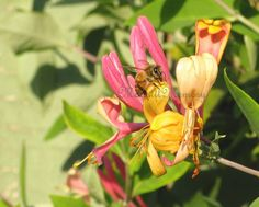 Honeybee on a Pink Honeysuckle flower. Garden Wall Art 8x10 by MoonlitMemory on Etsy