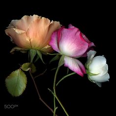 PARADISE REGAINED.. ROSES by Magda Indigo on 500px