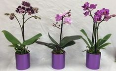 Mini Orchids in Metallic Pot is a best seller at Micky's Minis. Orchid placed in a stylish metallic pot it really brings out the color in the petals. Wallpaper Nature Flowers, Salvia, Bath Decor, Wisteria, Bonsai, Origami, Flora, Glass Vase, Planter Pots