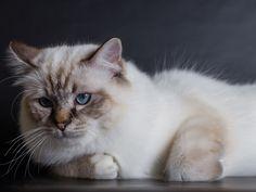 Burma, Siam und Co: Exotische Katzenrassen - Seite 3