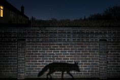 Shadow Walker ~ This image captures the truth of human interaction with the urban fox: rarely more than a glimpse or a shadow. Photographer Richard Peters, Natural History Museum, London, U. Photography Competitions, Photography Contests, Photography Awards, Wildlife Photography, Amazing Photography, Animal Photography, Photos D'ombre, Photo Animaliere, Animal Science