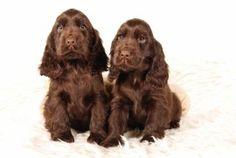 Puppyplaats.nl - Engelse Cocker Spaniel pups aangeboden