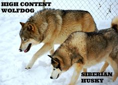 I like how this puts into perspective the difference between a Siberian Husky and a high content wolfdog  This is Shango and Kiera my Siberian Husky, she is 80 lbs and Shango is 120 lbs.