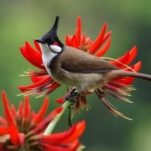 Red whiskered Bulbul. There are many species of Bulbul birds, which are short-necked slender passerines. The tails are long and the wings short and rounded. In almost all species the bill is slightly elongated and slightly hooked at the end.