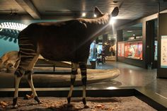 Die Stadtschwalben.com im Zoologischen Museum Hamburg: Okapi