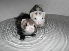 ferret bath time!