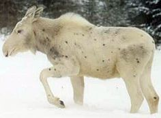 White moose in Canada. You can see how there are many different shades and varieties of leaucism
