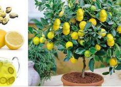 Evde Çekirdekten Organik Limon nasıl Yetiştirilir?