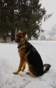 German shepherd Eden in the snow | Abby Farson Pratt
