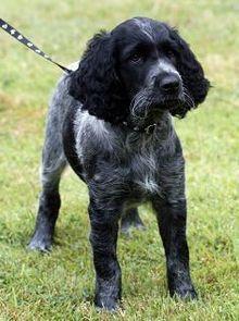 Large Munsterlander Breed Standard Edit The Uk Kennel Club