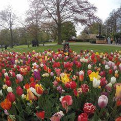 Mabuk tulips.  #amsterdam #keukenhof #linsyamadventure by azlinfarida