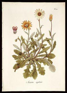 Plantarum rariorum horti caesarei Schoenbrunnensis descriptiones et icones /Opera et sumptibus Nicolai Josephi Jacquin., Volume 3, 1798