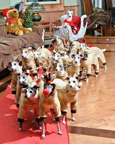 Up Dancer Up Prancer - whippet and greyhound christmas reindeer