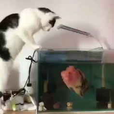 Flowerhorns Are So Powerful And Active - This is extremely dangerous for both the cat and the fish (and that tank isn't even remotely big - Tropical Freshwater Fish, Tropical Fish, Freshwater Aquarium Plants, Cute Animal Videos, Funny Animal Pictures, Beautiful Fish, Animals Beautiful, Cute Funny Animals, Funny Cats